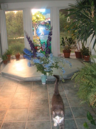 grey cat walks toward camera in sunroom with Hottub in background