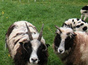 sheep flock faces