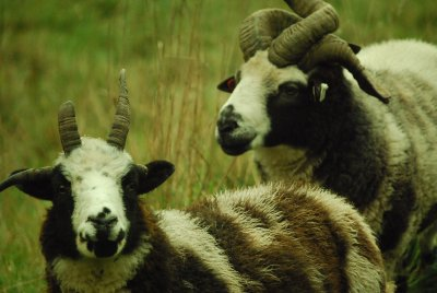 two jacobs sheep close up with lots of horns